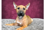 Picture of Female Mini Bull Terrier