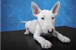 Picture of Female Mini Bull Terrier Puppy