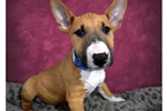 Picture of Mini Bull Terrier