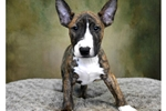Picture of Male Mini Bull Terrier