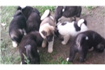 Picture of Akita puppies