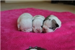 Picture of AKC French Bulldog Puppy