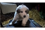 Picture of Great Pyrenees Avail for Christmas -6TanCollar - M