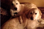 Picture of Great Pyrenees Avail for Christmas | 1BrwnCollar M