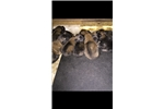 Picture of Boss &Hollie pup for sale accepting deposits now!