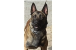 Belgian Shepherd Malinois for sale