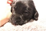 Picture of Black Female AKC English Cocker Spaniel Puppy