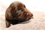 Picture of Liver Chocolate Female AKC English Cocker Spaniel
