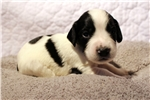 Picture of Black & White Male AKC English Cocker Spaniel Pup