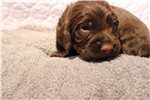 Picture of Liver Chocolate AKC English Cocker Spaniel Puppy