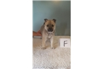 Picture of Moxi - Norwegian Buhund to love;mwork and show!