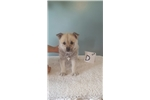 Picture of Brutus - Norwegian Buhund to love;mwork and show!