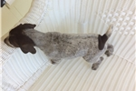 Picture of Male German Shorthair Pointer Puppy