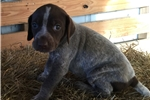 Picture of Female German Shorthair puppy