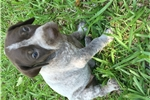 Picture of Female German Shorthair Pointer Puppy