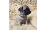 Picture of Bianca  Pug French Bulldog cross