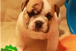Picture of AKC PUPPIES EXCELLENT PEDIGREE