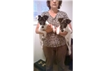 Smooth Fox Terriers for sale
