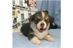 Pembroke Welsh Corgis for sale