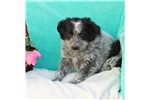 Picture of FLUFFY HEALTHY BLUE HEELER MIX