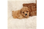Picture of ADORABLE HEALTHY FAMILY RAISED BICHON POODLE PUP
