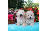 Picture of Gorgeous little pups!!