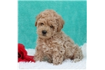 Picture of HAPPY HEALTHY SWEET TEMPERED BICHON MINI POODLE