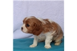 Picture of ADORABLE SWEET TEMPERED CAVALIER KING CHARLES PUPS