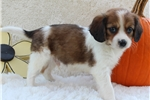 Picture of a Cavanese Puppy