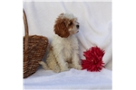 Picture of ADORABLE CAVALIER/POODLE PUPPIES