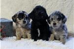 Picture of AMAZING CORGI/MINI POODLE PUPS