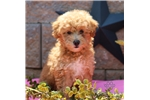 gorgeous coats! | Puppy at 12 weeks of age for sale