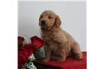 Picture of AMAZING TEDDY BEAR MINI LABRADOODLE PUPS RED!!!