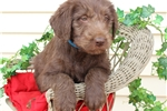 Picture of ADORABLE LABRADOODLES