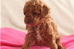 Picture of HAPPY HEALTHY RED MINI POODLE PUPS