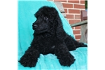 Picture of AKC STANDARD POODLE PUPS SUPER TEMPERAMENTS