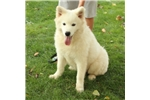 Picture of AMAZING SAMOYED PUP SUPER TEMPERAMENT