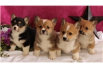 Picture of AMAZING HAPPY HEALTHY STUNNING PUPS