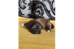 Picture of Purebred Pekingese Pups- Male!