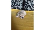 Picture of Purebred Pekingese Pups-Female!