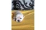 Picture of Purebred Pekingese Pups!