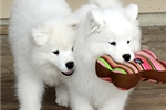 Picture of Sweet Samoyed puppies for sale
