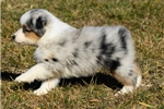 Featured Breeder of Miniature American Shepherds with Puppies For Sale