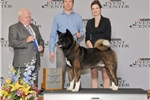 Picture of AKC Champion-Sired Akita Male Puppy