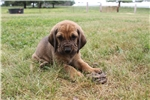 Picture of AKC Bloodhound Puppy # 1