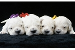 Picture of AKC English Cream Puppies!!