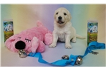 Picture of AKC English Cream Golden Puppies - Ready August