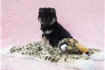 Picture of AKC Black & Tan Male Puppies