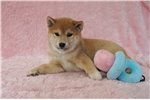 Picture of AKC Red Female Shiba Puppies ready in August