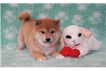 Picture of AKC Red Male Shiba Puppies ready in August